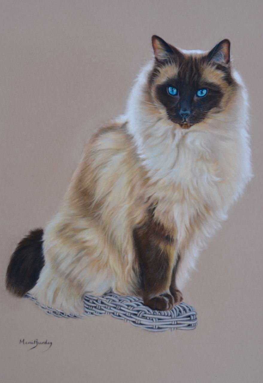 ragdoll beauties thedogartist bailey biru